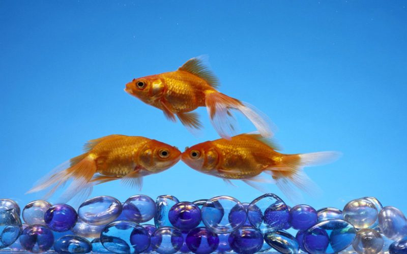 Three-Golden-Fish-Pebbles-Wallpapers-For-Your-Computer