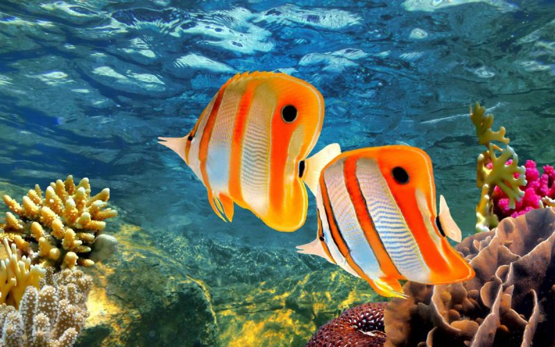 Wallpaper-Hd-for-mobile-phone-and-Laptop-Copperband-butterflyfish-Chelmon-rostratus