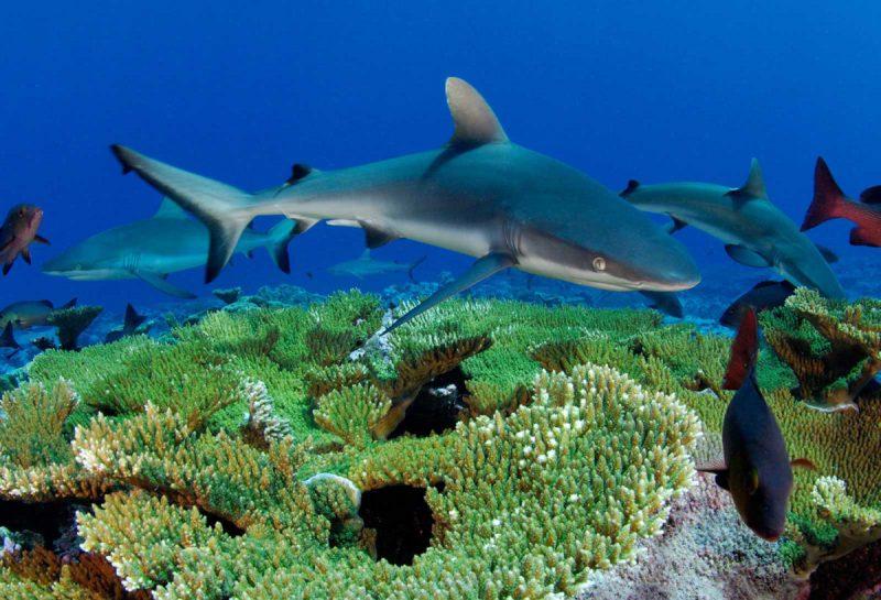 tiburones-corales